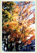 Autumn Tree, Click for larger image.
